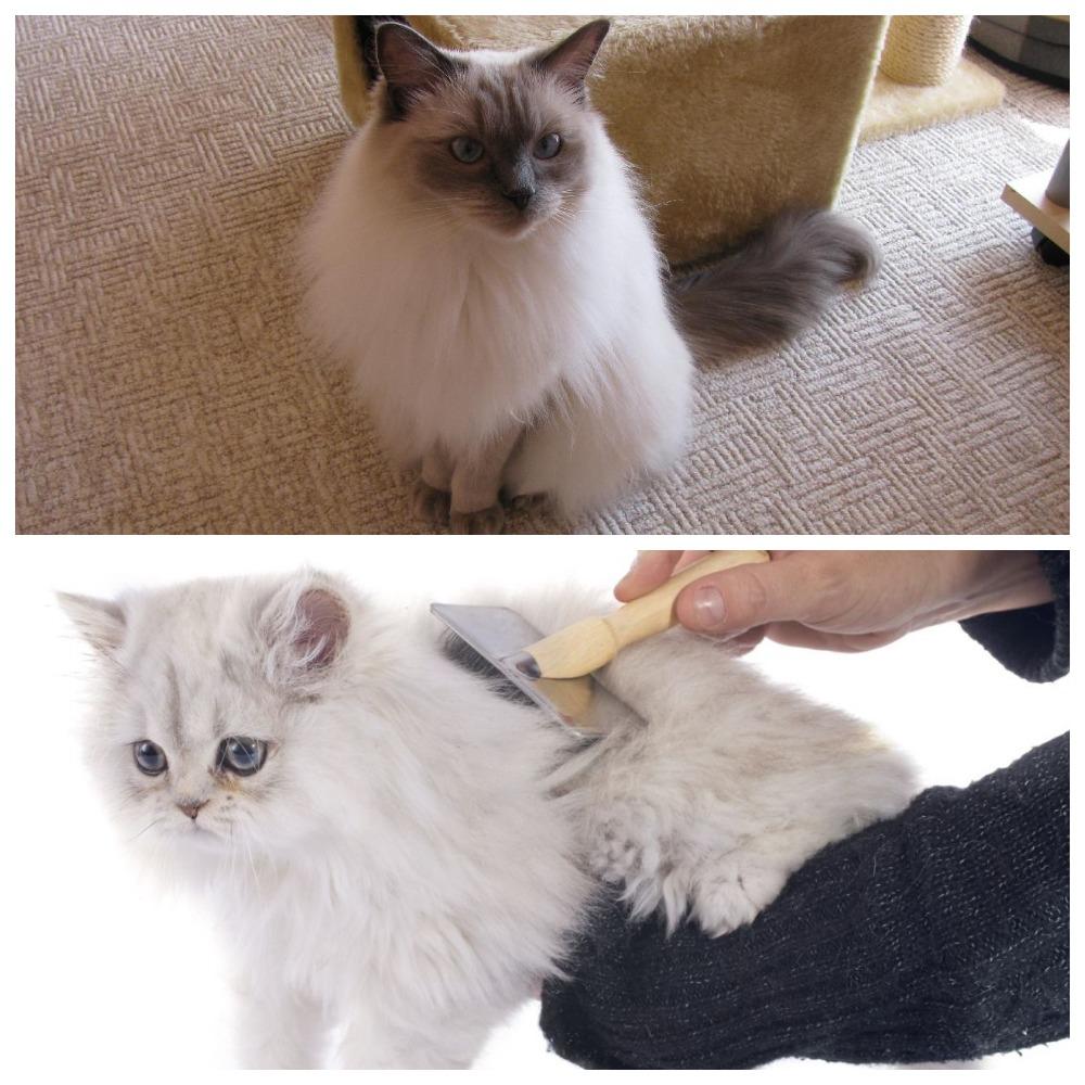 """""""Игрушечная"""" порода кошек рэгдолл - описание, особенности ухода и содержания"""