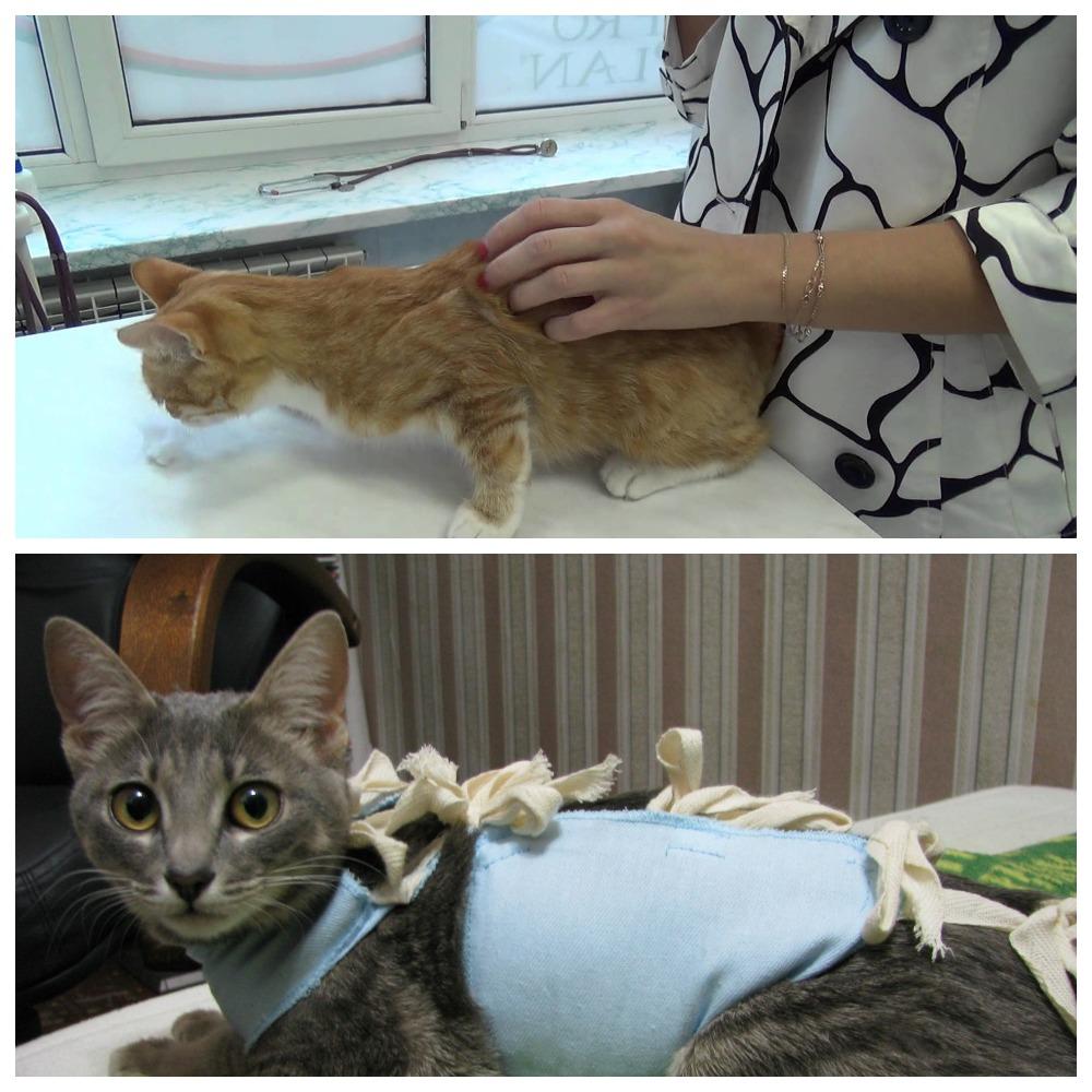 Можно ли стерилизовать кошку во время течки, чем это опасно?