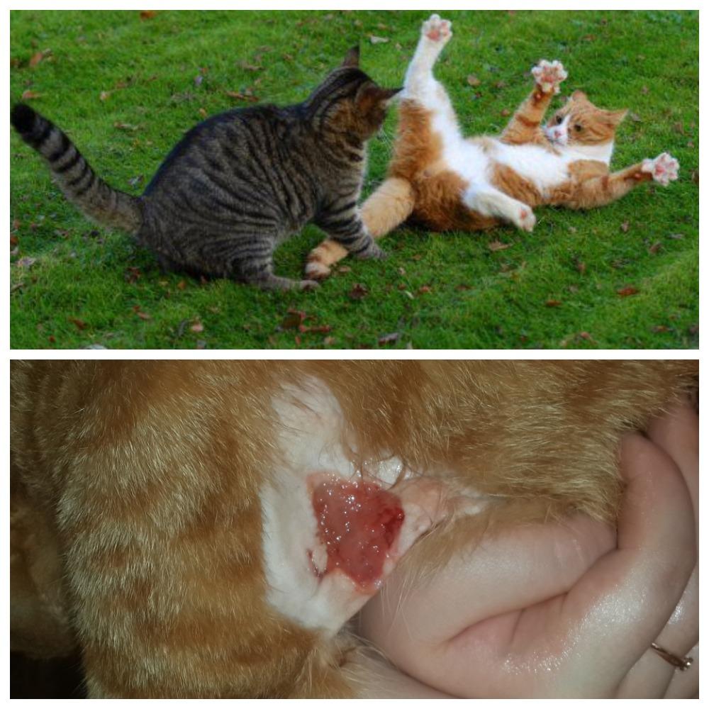 Что делать, если кот поранился, чем и как обработать рану самостоятельно, какими препаратами