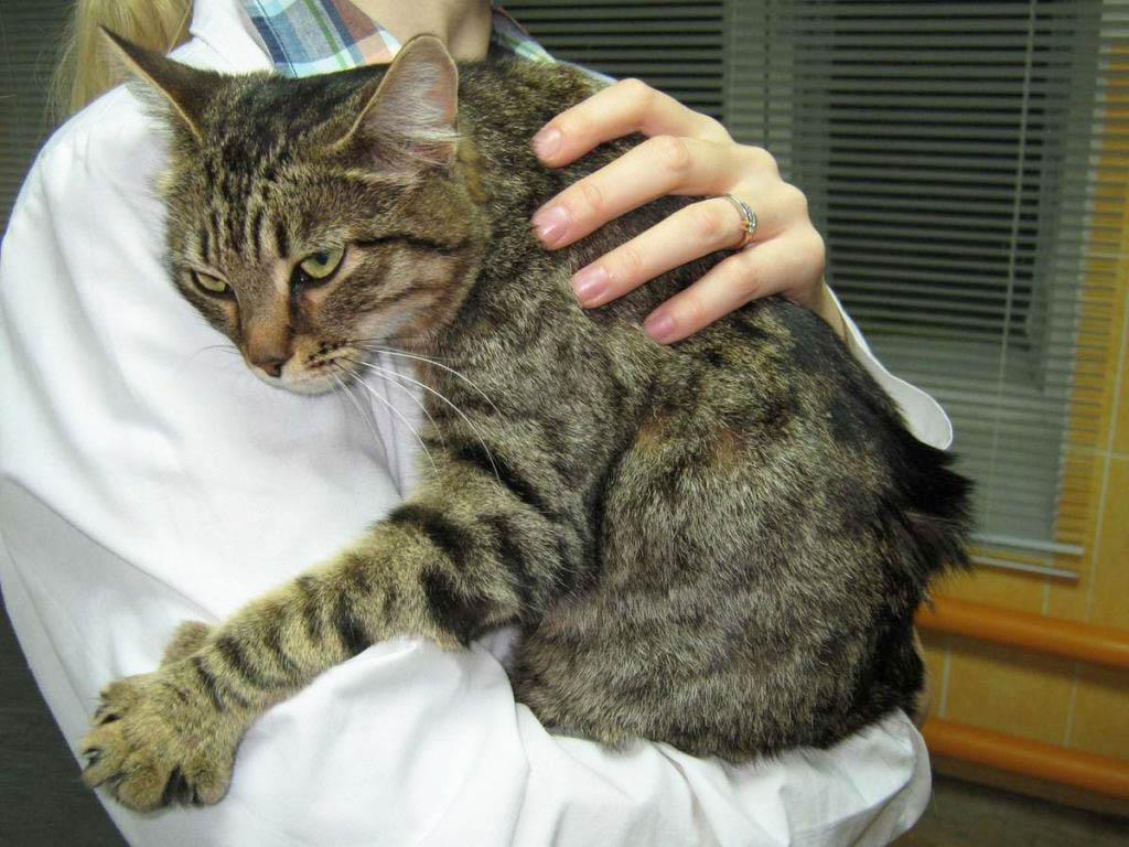 Лечение асцита у кошек