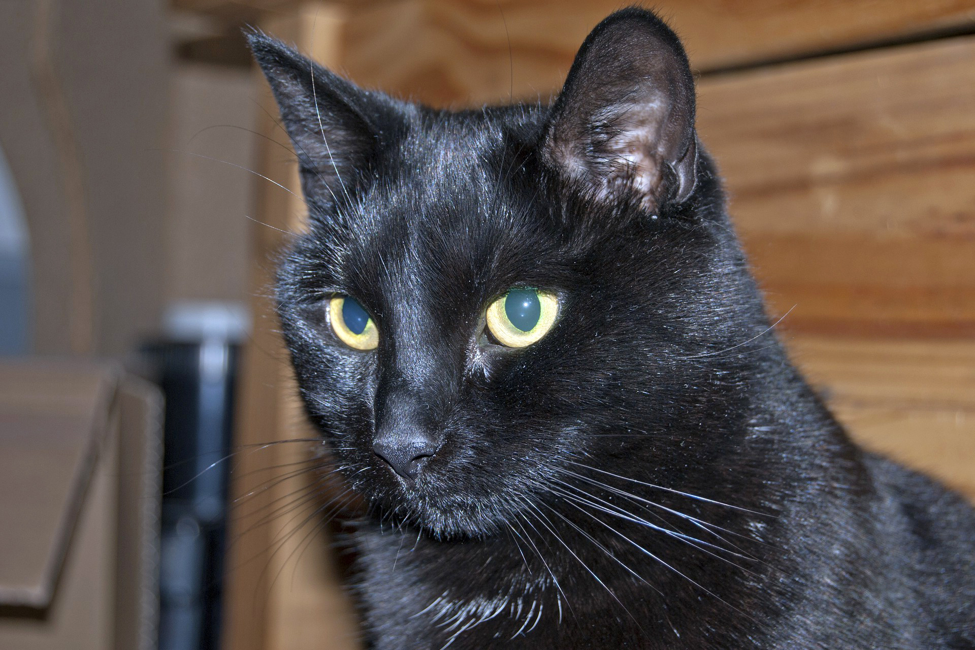 выбрать черные коты порода разгрузки