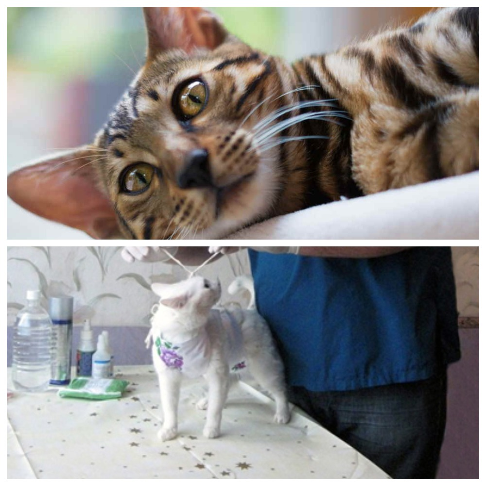 Кровянистые выделения у кошки