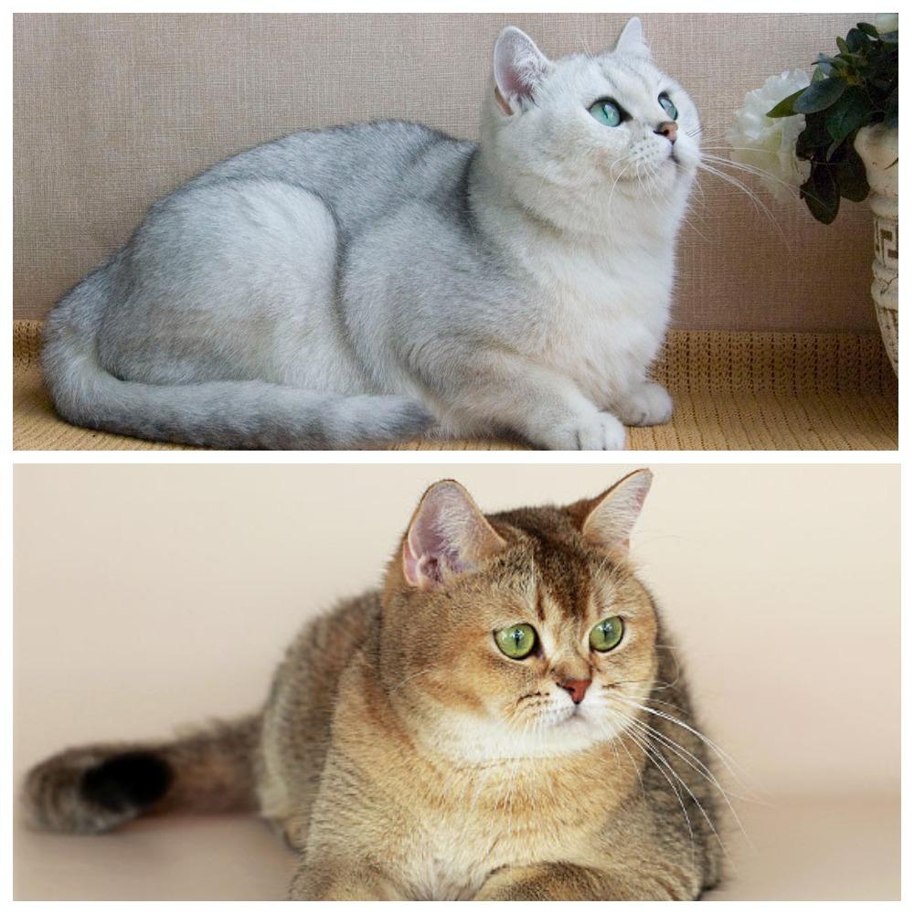 Что представляет собой кошка породы британская шиншилла