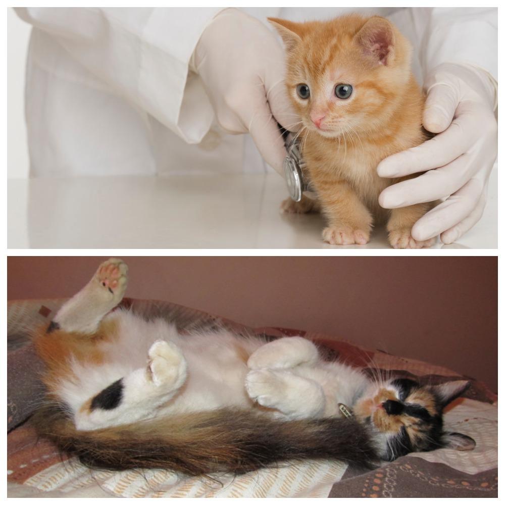 Какие бывают болезни печени у кошек и как из правильно лечить