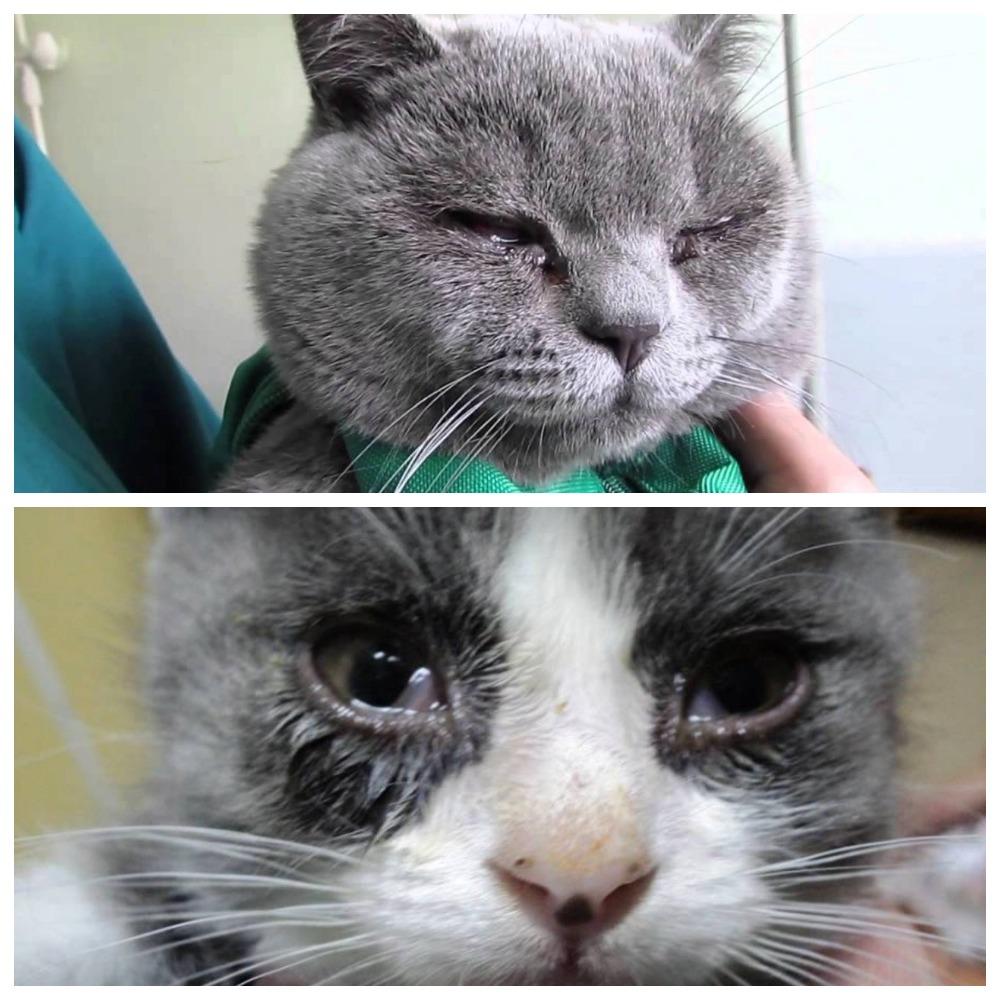 Кошка Чихает Похудела. Кот или кошка чихает: причина, что делать, как предотвратить чихание у кошек?