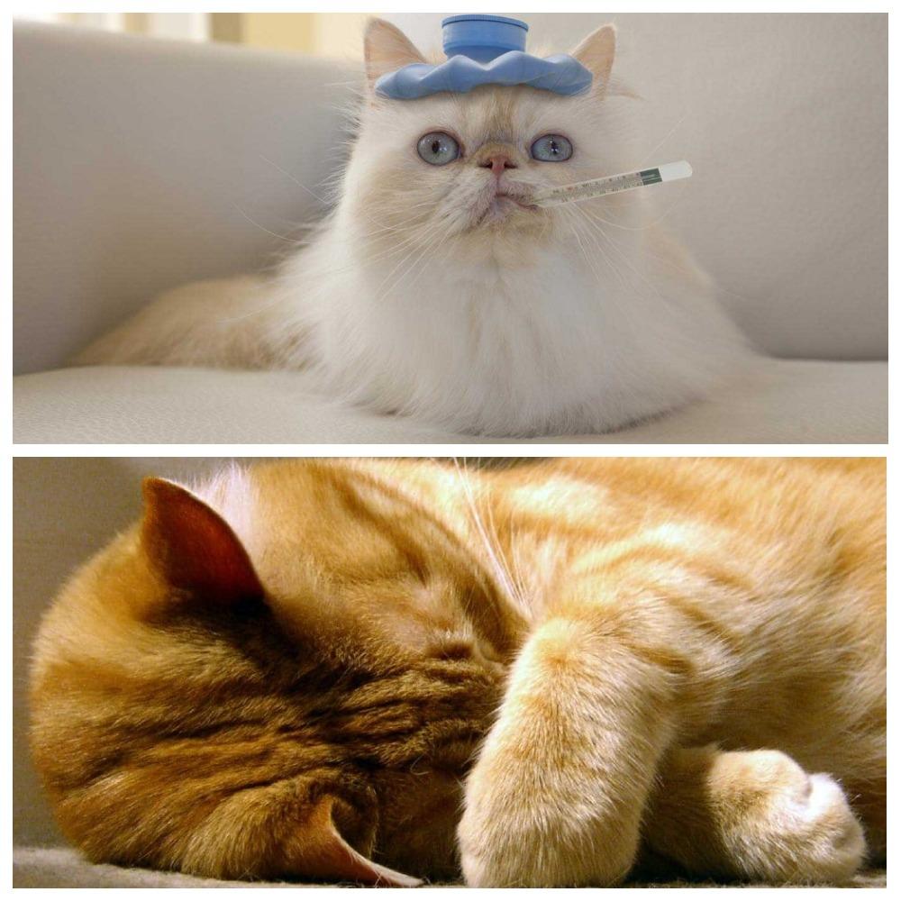 Почему у кошек холодный нос