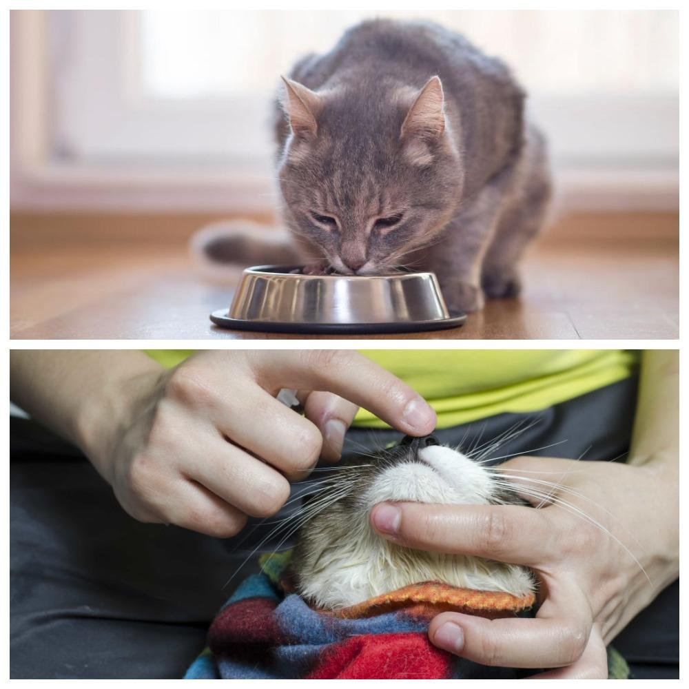 Как дать таблетку от глистов взрослой кошке и котенку