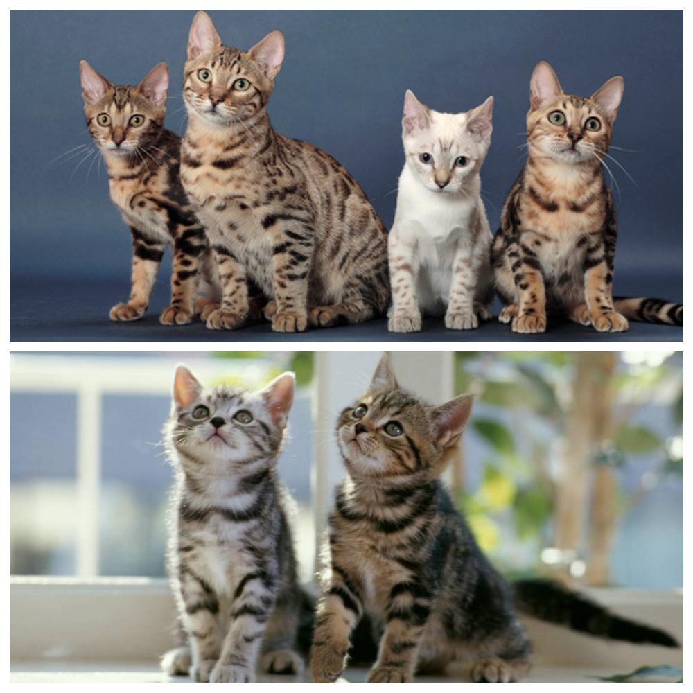 Как можно определить породу кота