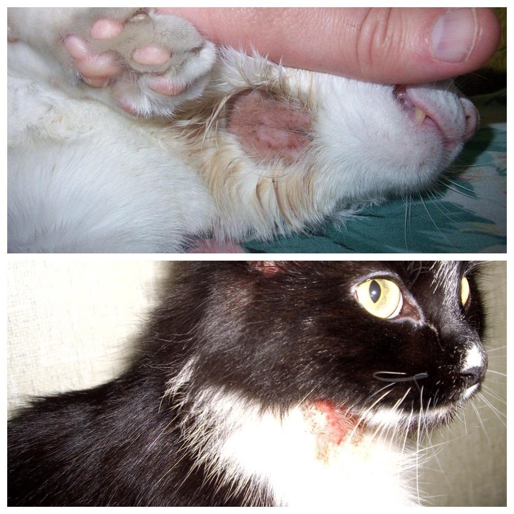 Кошка расчесывает шею до болячек - что делать и как лечить