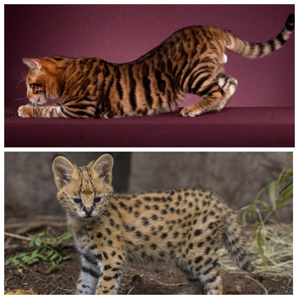 Редкие и удивительные породы кошек