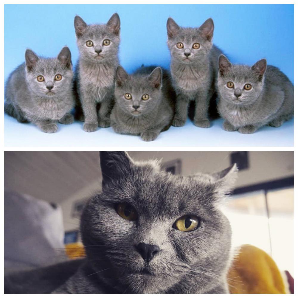 Описание кошки породы шартрез