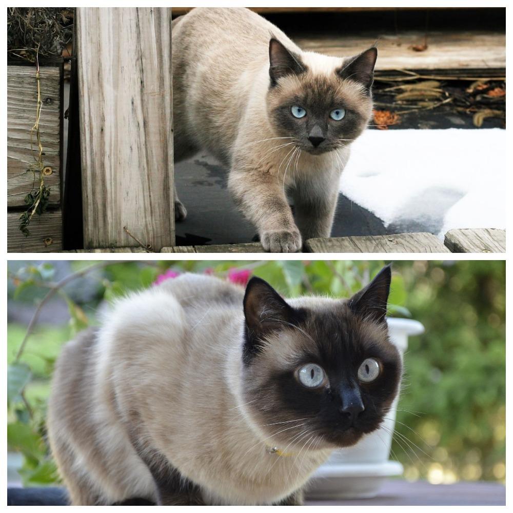Чем отличается сиамская кошка от тайской