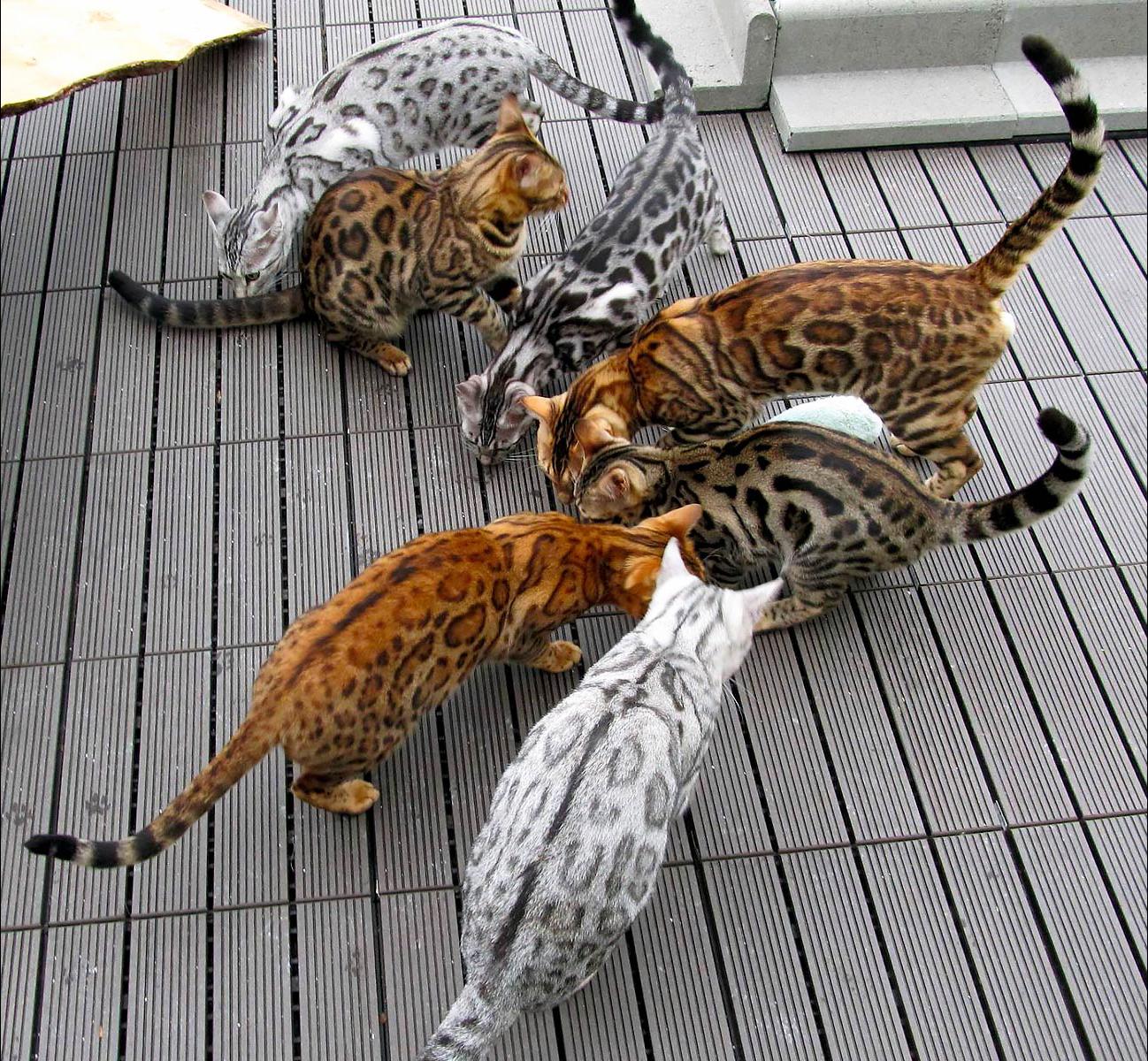 Какие бывают виды рисунка и окраса у бенгальских кошек