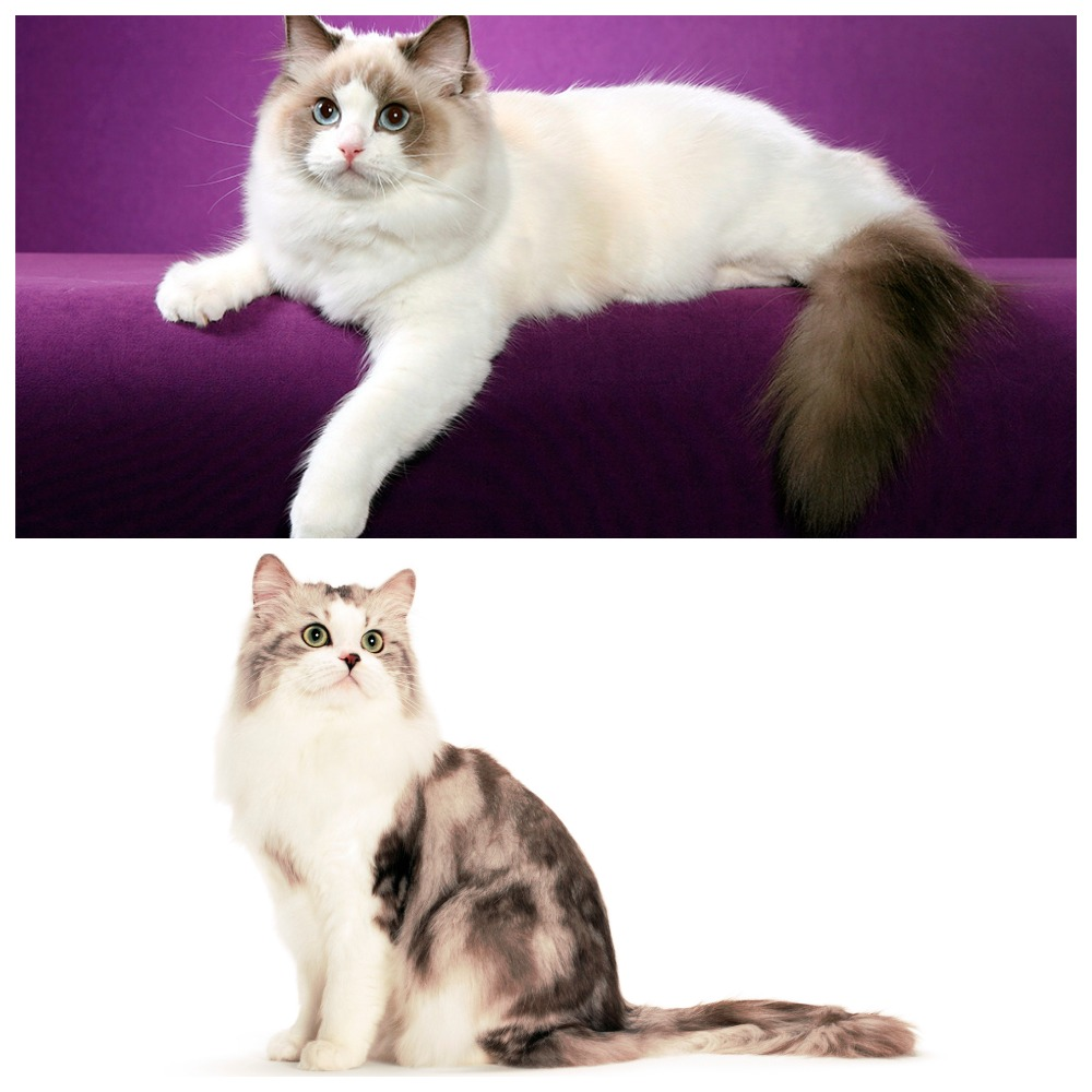 Коты породы рагамаффин