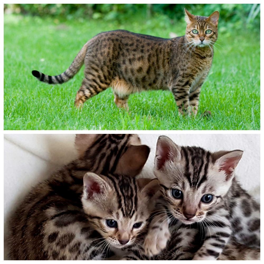 Правильное разведение бенгальских кошек