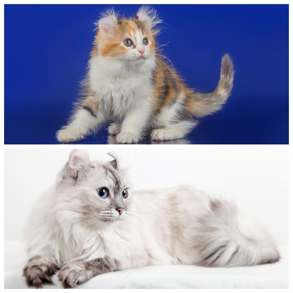 Порода кошек американские керлы