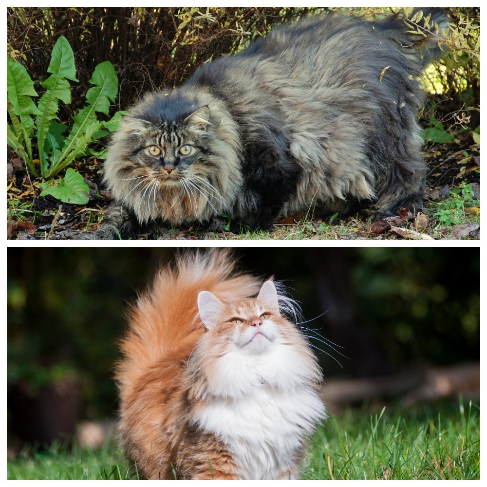 Образ жизни лесного кота