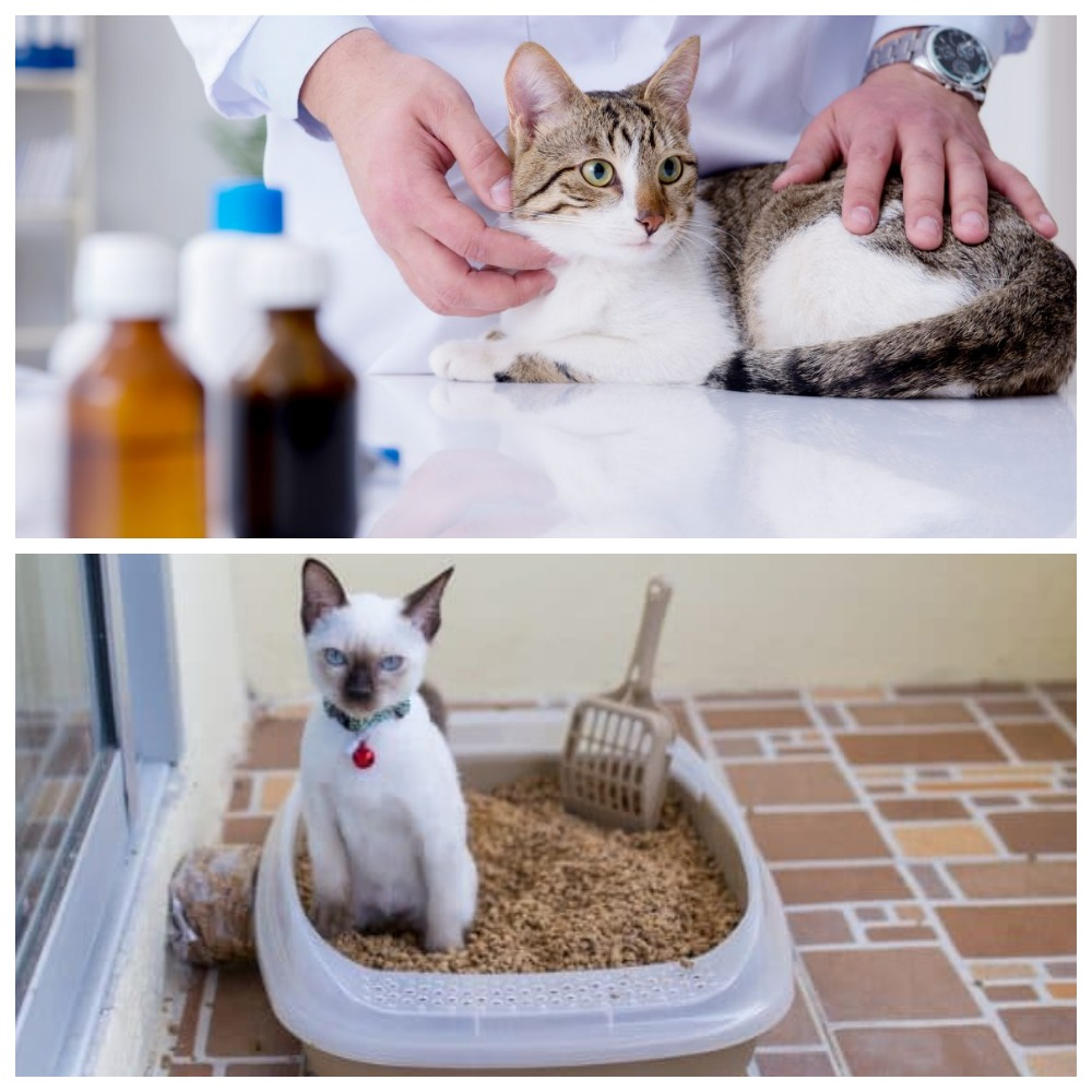 Лечение пиелонефрита у кота