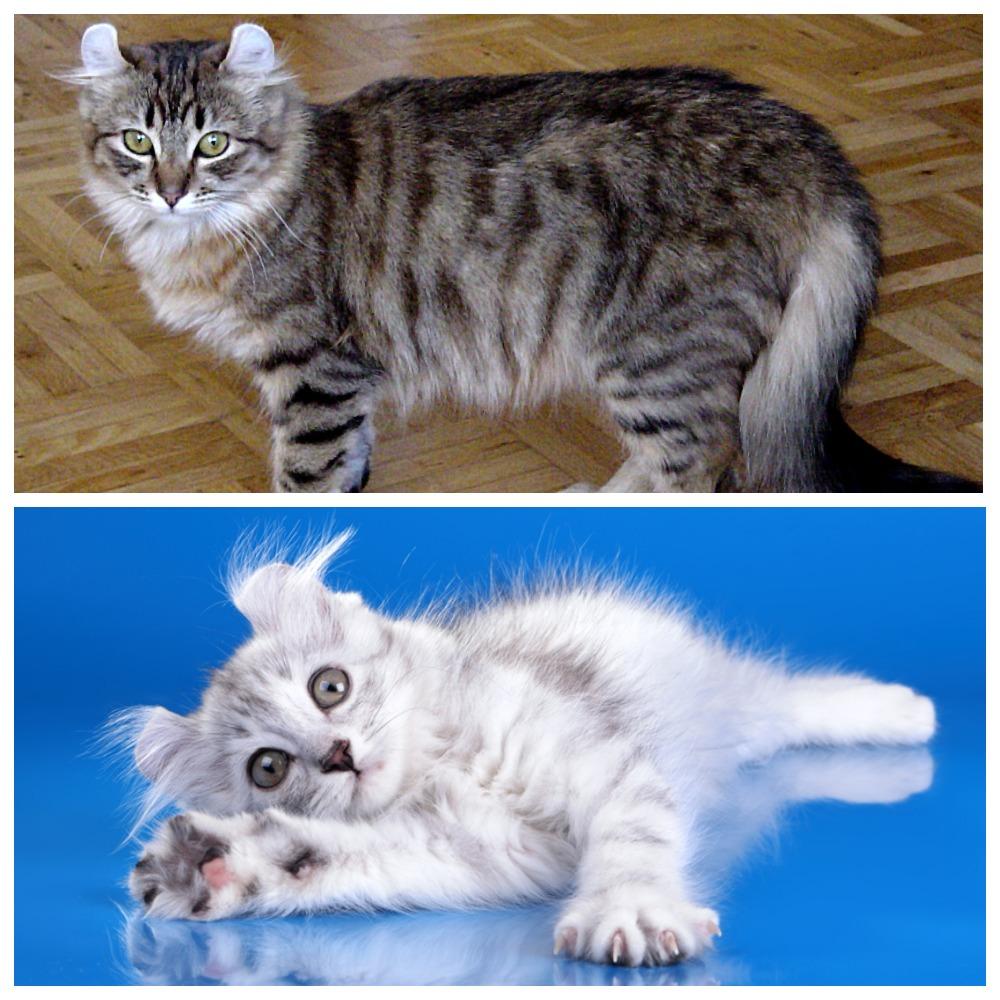 Американские керлы - общительные и жизнерадостные кошки