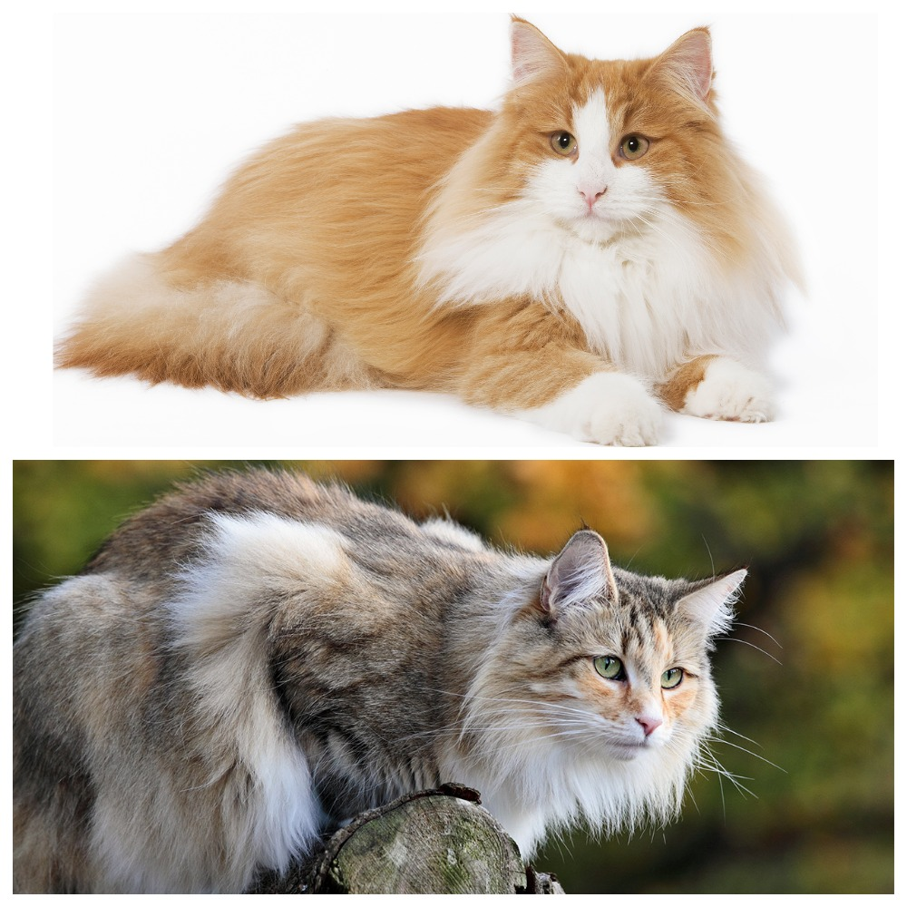 Образ жизни и характер лесного кота