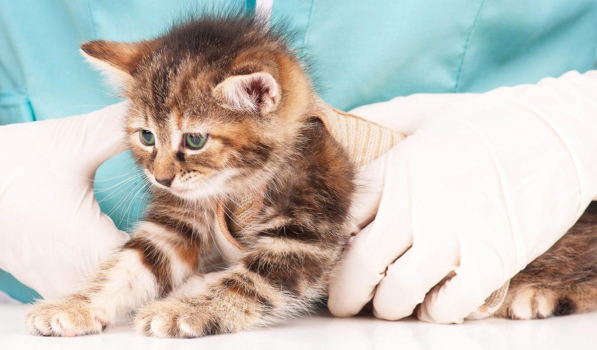 Как давать кошкам пирантел