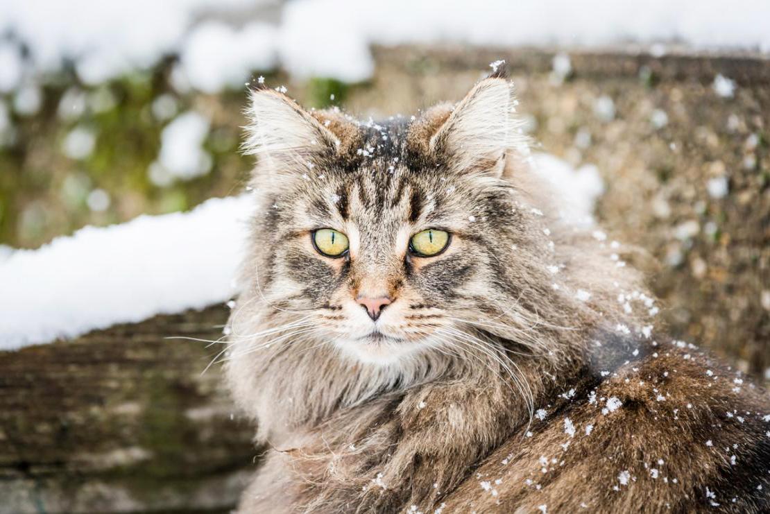 Характер лесного кота